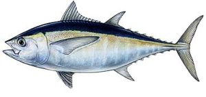 blackfin_tuna_duane_raver_jr